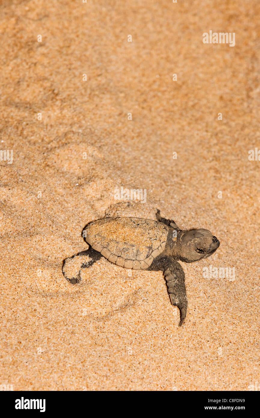 Loggerhead turtle (Caretta caretta) hatchling, moving from nest to sea at night, Banga Nek, Kwazulu Natal, South Africa Stock Photo