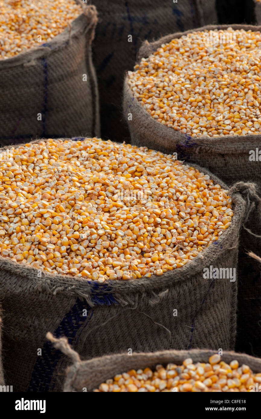 Dried Maize / Corn kernels bagged up in hessian sacks in India Stock Photo