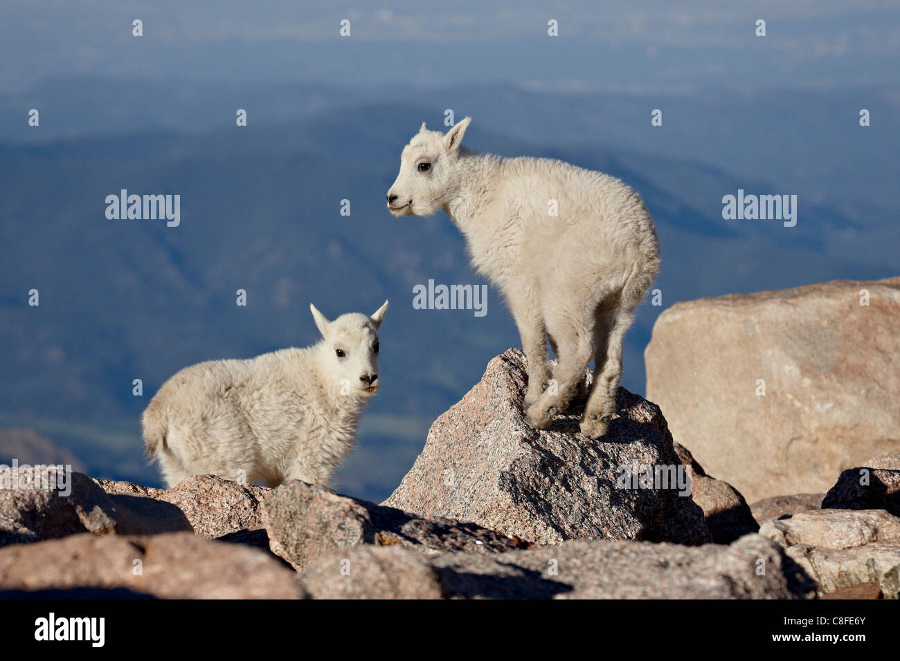 Two mountain goat (Oreamnos americanus) kids, Mount Evans, Colorado, United States of America - Stock Image