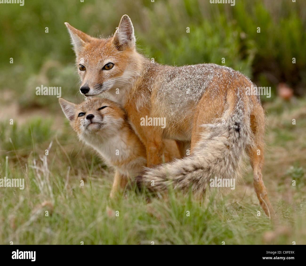 Swift fox (Vulpes velox) vixen and kit, Pawnee National Grassland, Colorado, United States of America - Stock Image