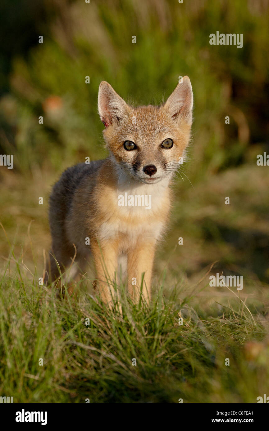 Swift fox (Vulpes velox) kit, Pawnee National Grassland, Colorado, United States of America - Stock Image