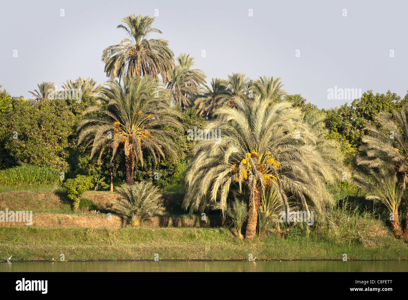 A section of Nile river bank with overhanging palms and trees on a grassy bank and narrow strip of water, Egypt - Stock Image