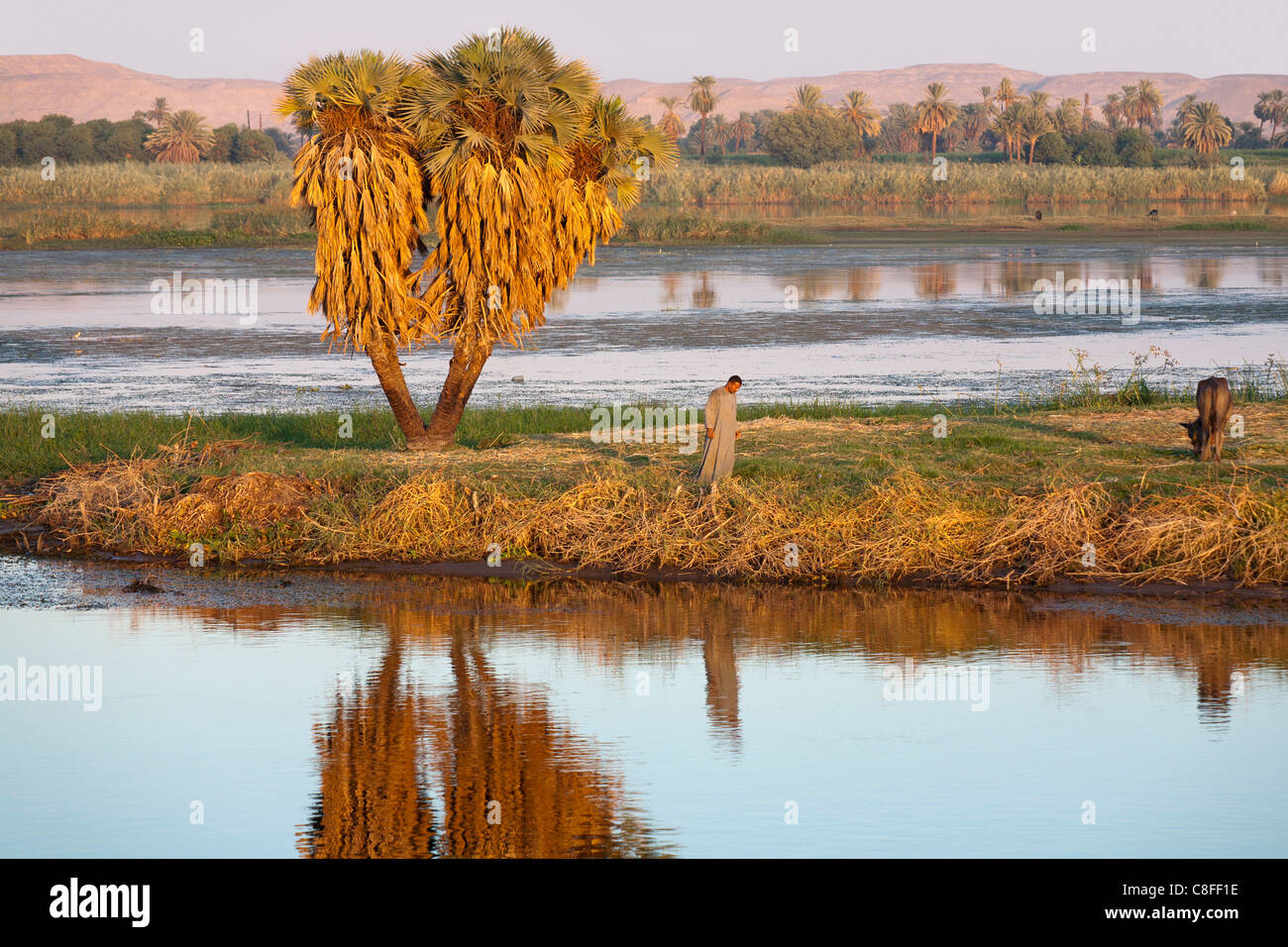 A section of Nile river bank with small island and solitary man, palm and cow all reflected in the mirror like water, - Stock Image