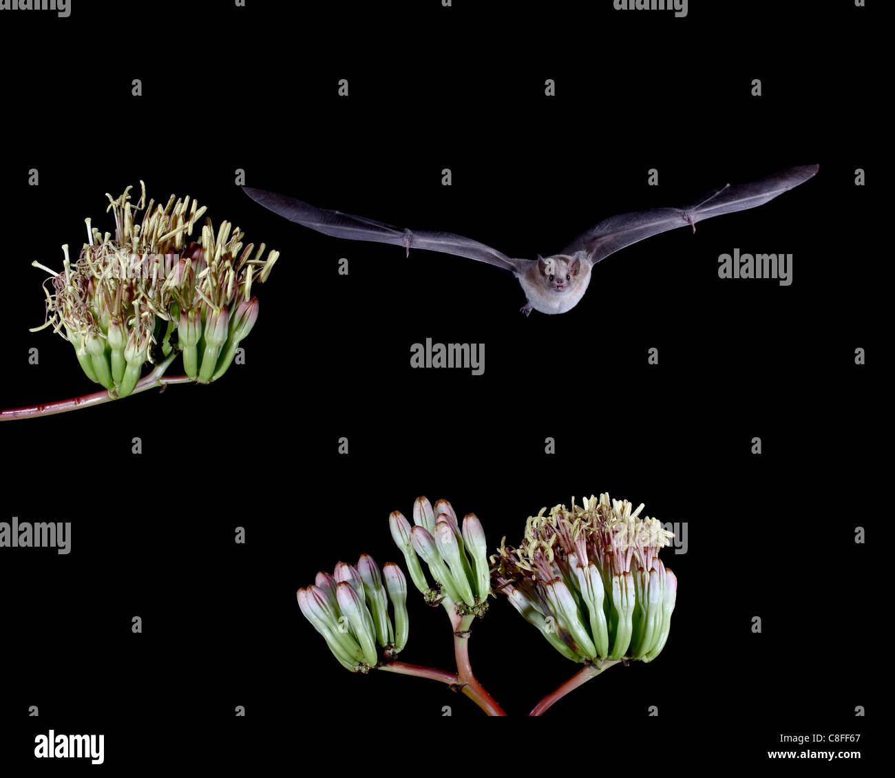 Lesser long-nosed bat (Leptonycteris yerbabuenae) flying by agave blossoms, in captivity, Hidalgo County, New Mexico, USA Stock Photo