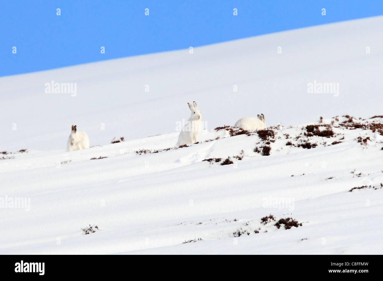 3, Alps, alpine, adapt, adjust, fauna, mountain, mountains, Cairngorms, ice, fauna, fur, cliff, mountains, hare, - Stock Image