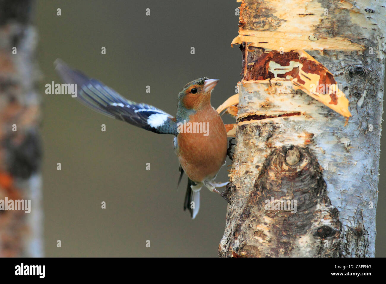 Flight, tree, movement, chaffinch, Cairngorms, food, eating, flight, wing, Fringilla coelebs, feed, feed search, - Stock Image