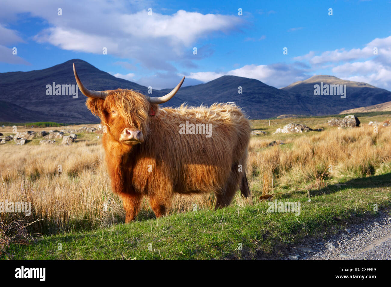 Highland cattle, Isle of Mull, Inner Hebrides, Scotland, United Kingdom - Stock Image