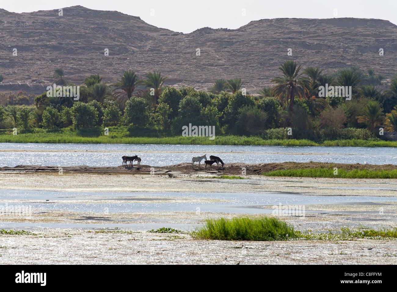 Six donkeys grazing on a small island on the Nile with mud flats in front, and river, palms and mountains in background, - Stock Image