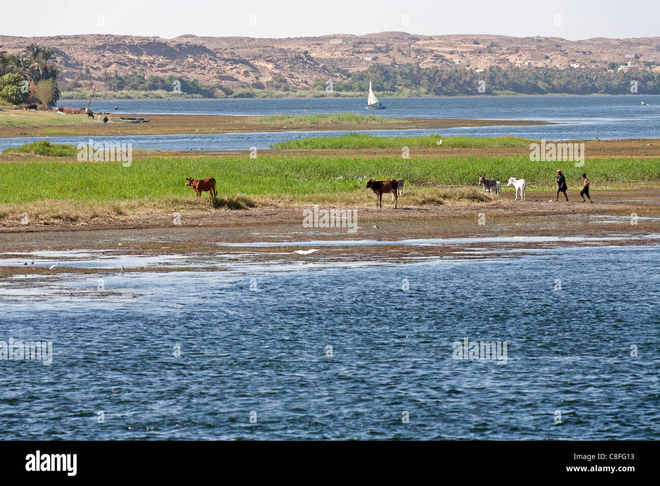 A small island in the Nile showing cattle grazing on riverbank with a distant felucca and desert mountain range, - Stock Image