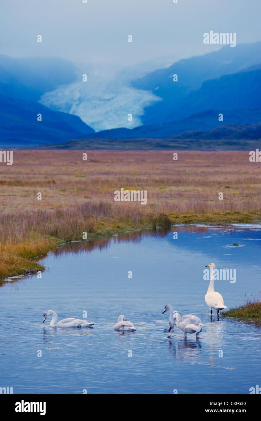 Whooper swans (Cygnus cygnus)y, Hoffelsjokull glacier in background, north of Hofn, East Fjords region (Austurland, Stock Photo