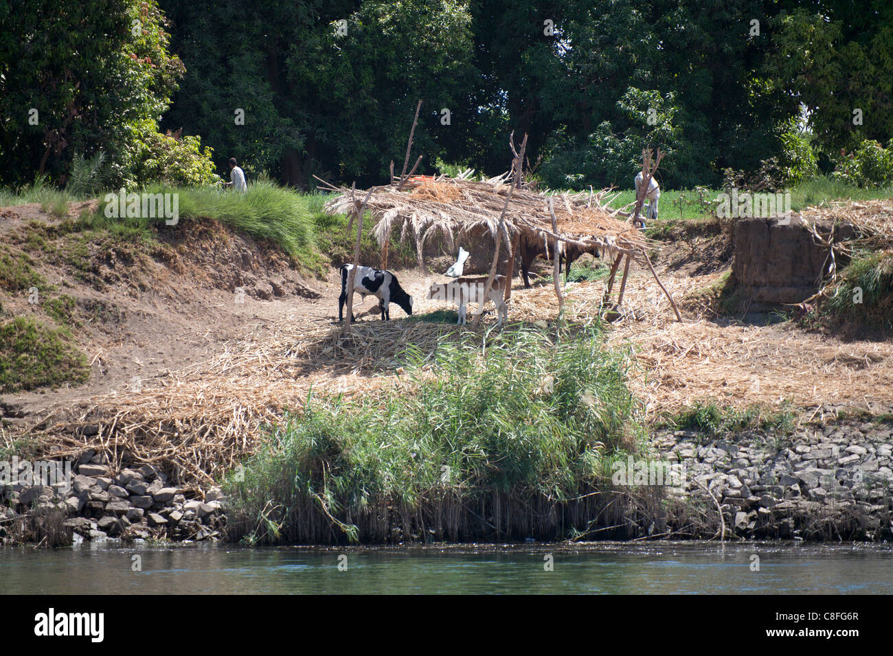 A section of Nile riverbank showing waters edge, grazing cattle under a reed shelter with trees in the background - Stock Image