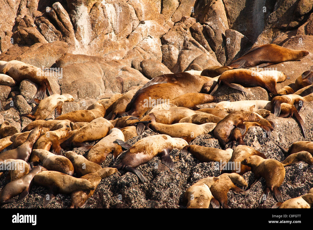 Stellar sea lions (Eumetopias jubatus) in the Five Finger Islands area of Frederick Sound, Southeast Alaska, Alaska, - Stock Image