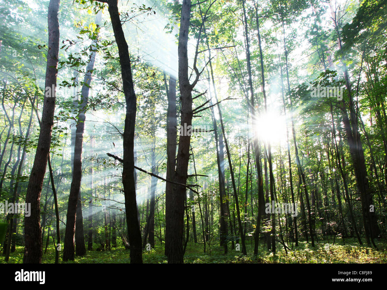 Sun's rays shining through the trees in the forest. Stock Photo