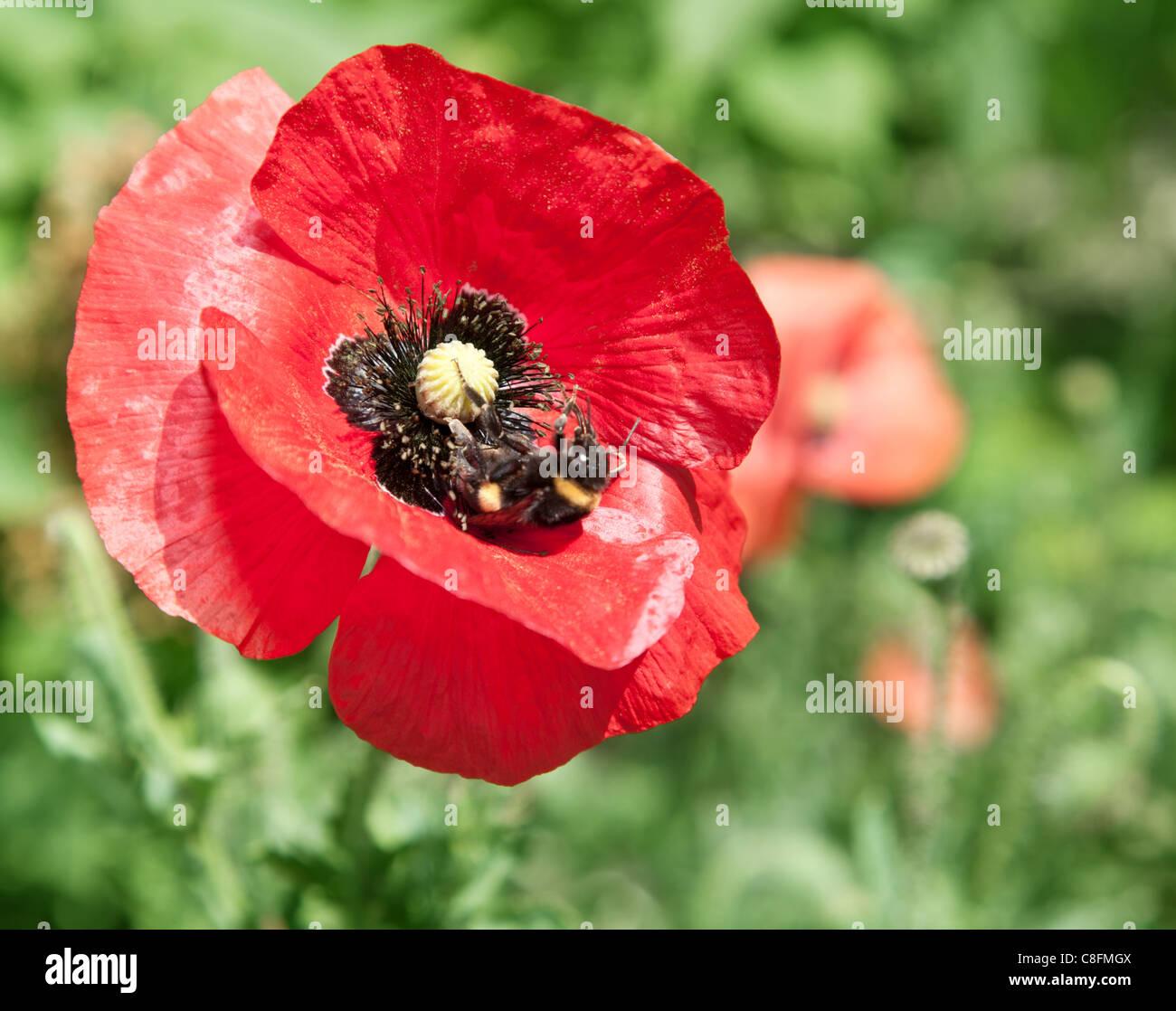 Close up shot of tender poppy flower. Stock Photo