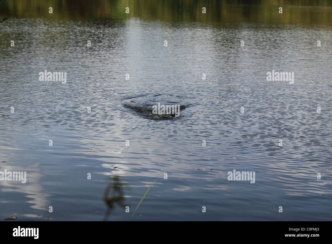 Moorhen just dived under the water, rippling the surface - Stock Image