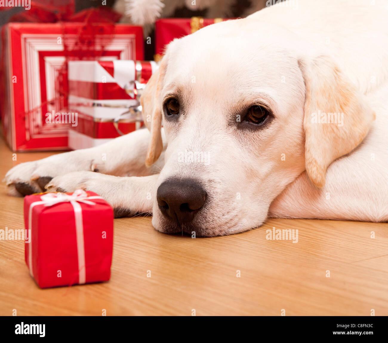 Beautiful Labrador retriever on Christmas day lying on the floor - Stock Image