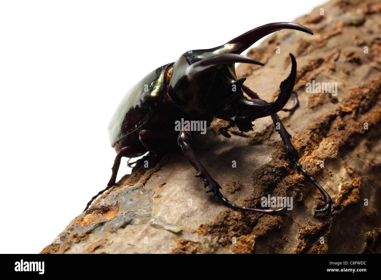 Atlas beetle - Stock Image