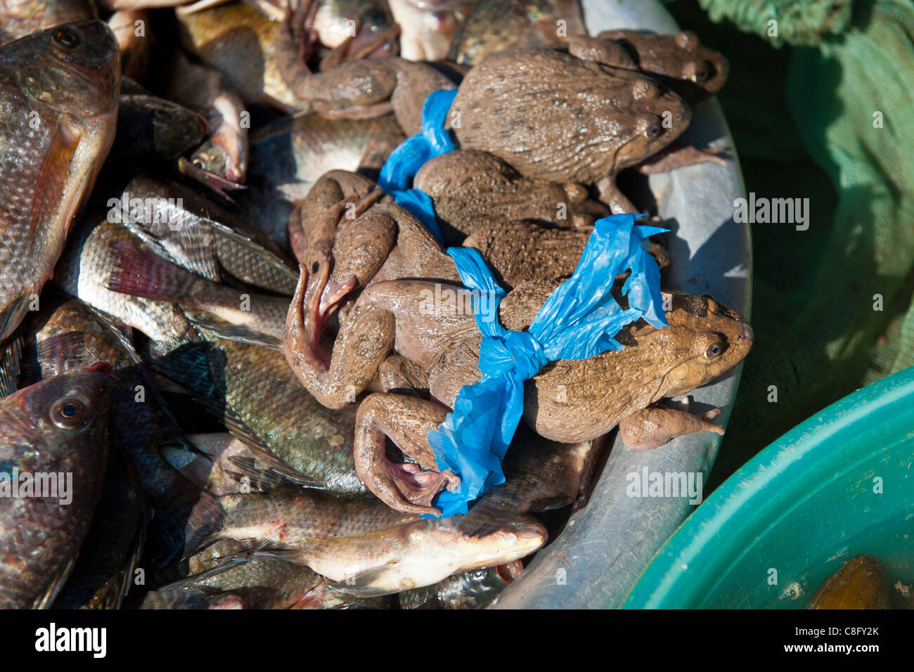Edible live frogs for sale in Sapa market. North Vietnam - Stock Image