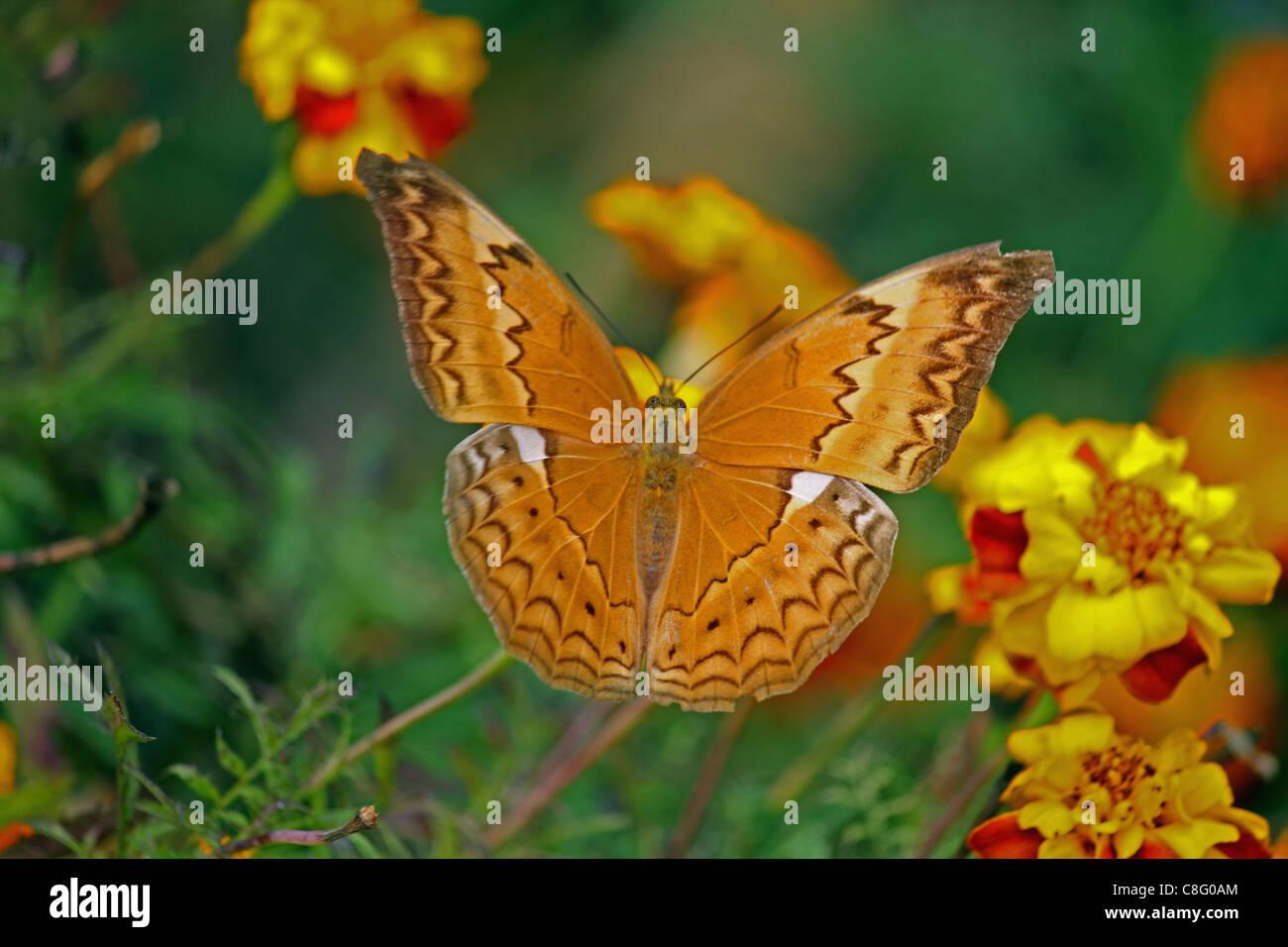 Bộ sưu tập cánh vẩy 5 - Page 4 Cirrochroa-thais-tamil-yeoman-insect-butterfly-india-C8G0AM