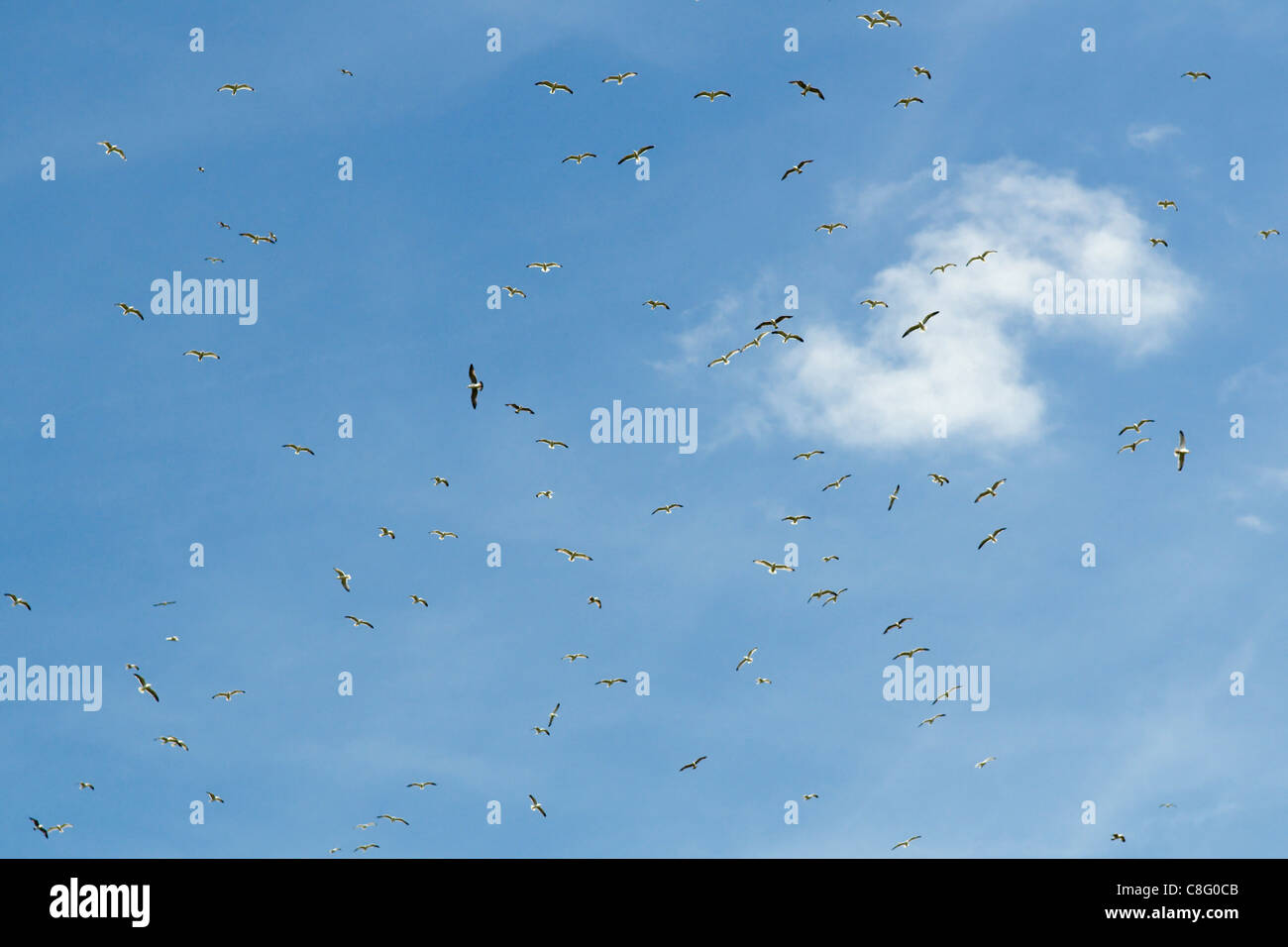 Flock of seagulls flying over landfill site in Emersons Green Bristol uk - Stock Image