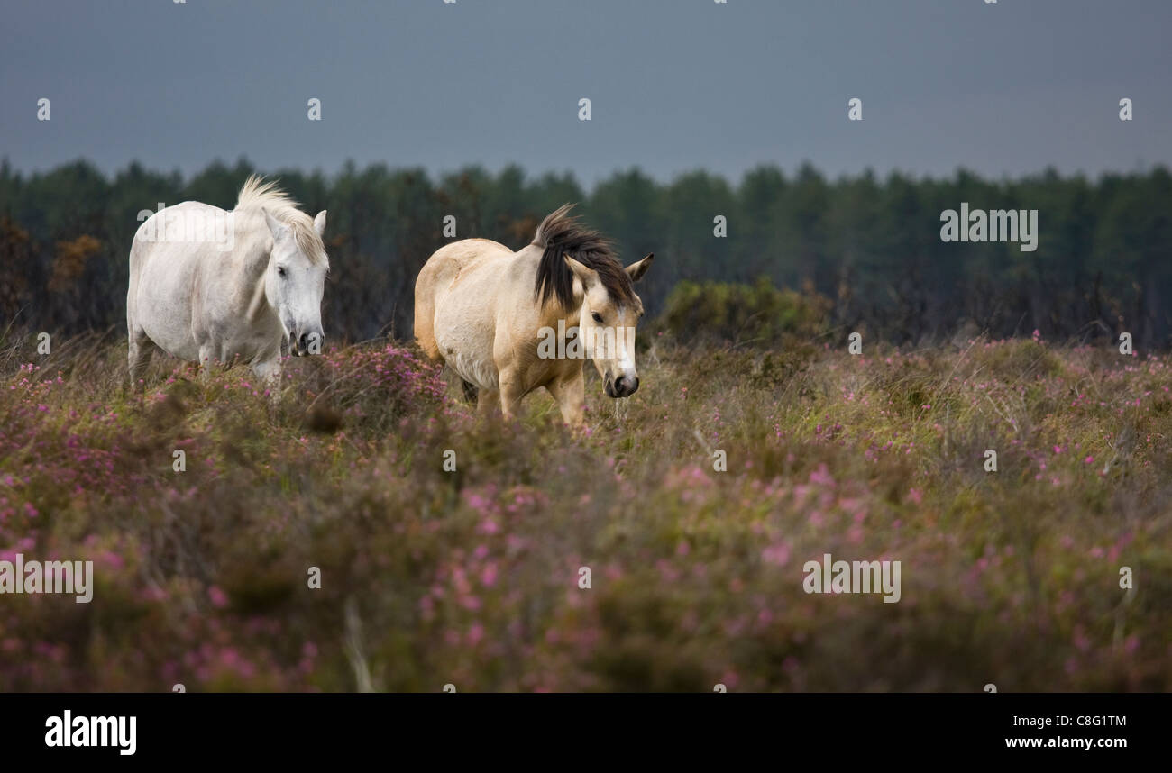 Two New Forest ponies walking through the flowering heather on a sunny, windy day. A horizontal tree line forms - Stock Image