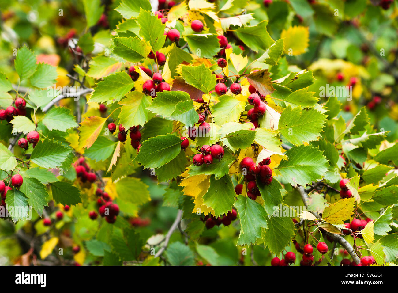 A hawthorn tree with a crop of haw berries in the early October - Stock Image
