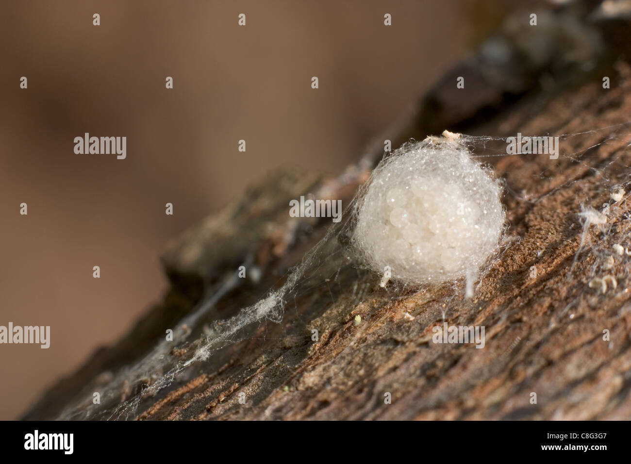 Spider Eggs in Sac - Stock Image