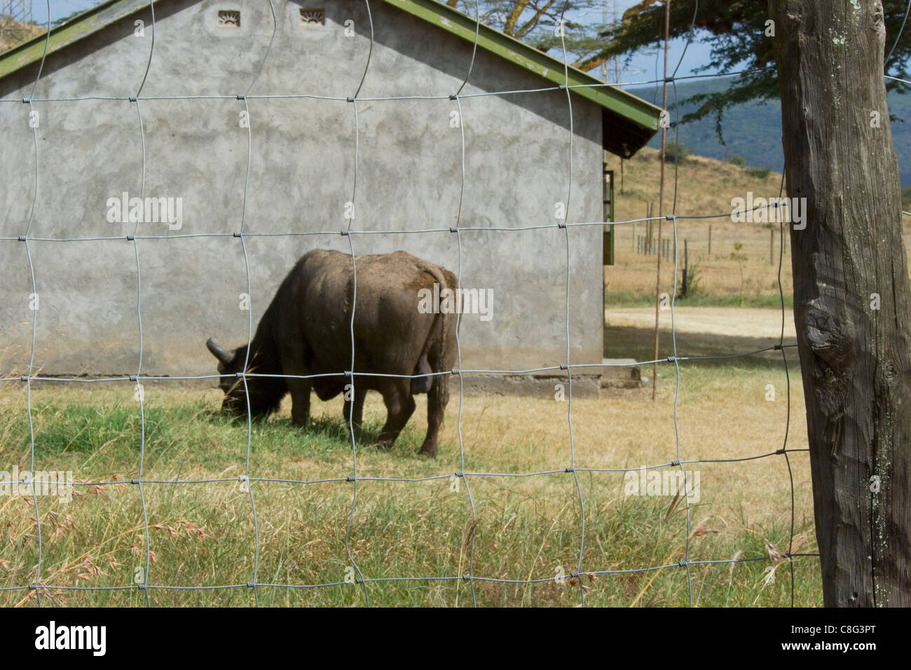 Staff at safari lodge forgot to close the door to the wilderness. On the picture sees an african buffalo (Syncerus - Stock Image