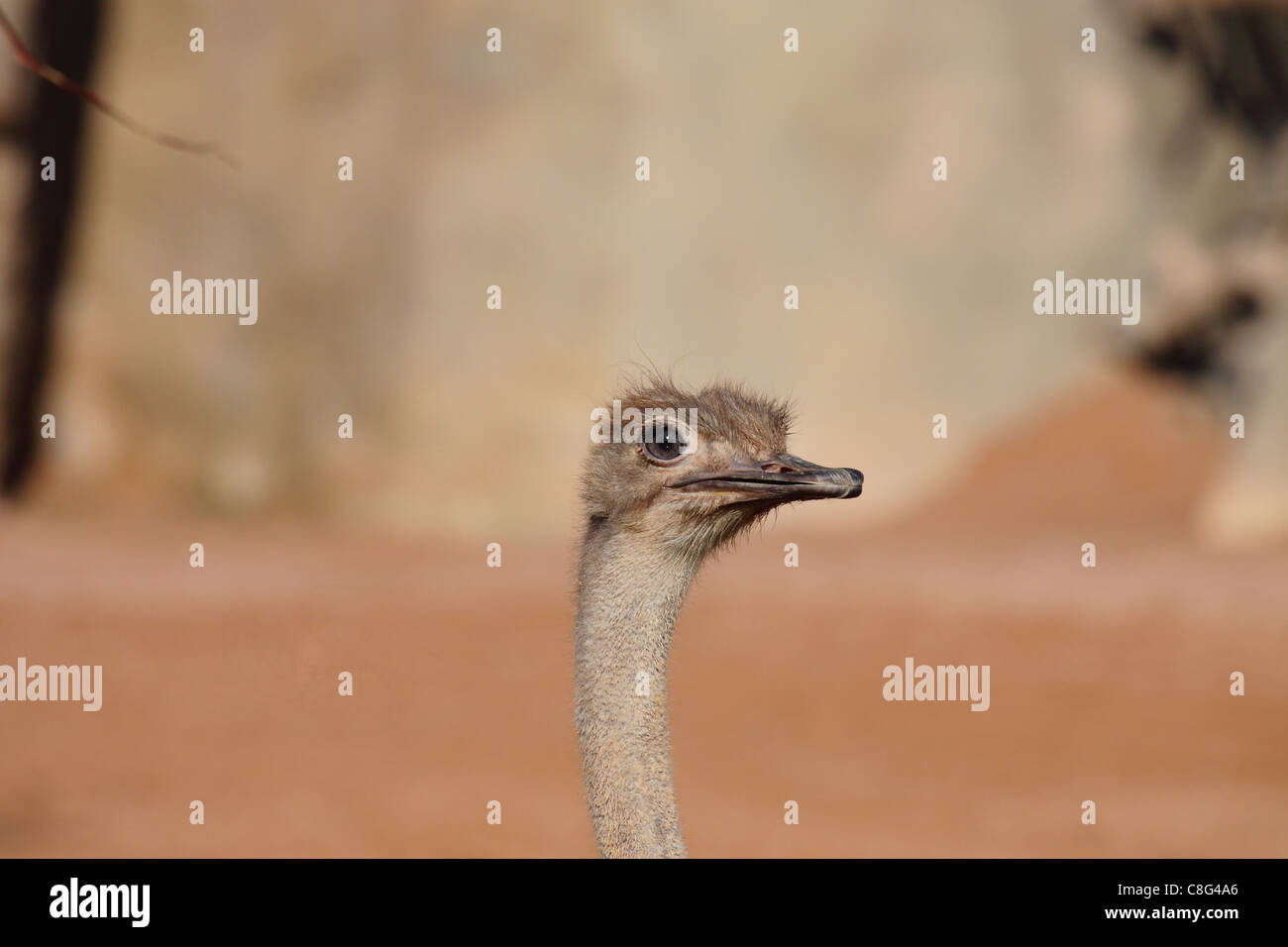 Ostrich looking at you - Stock Image