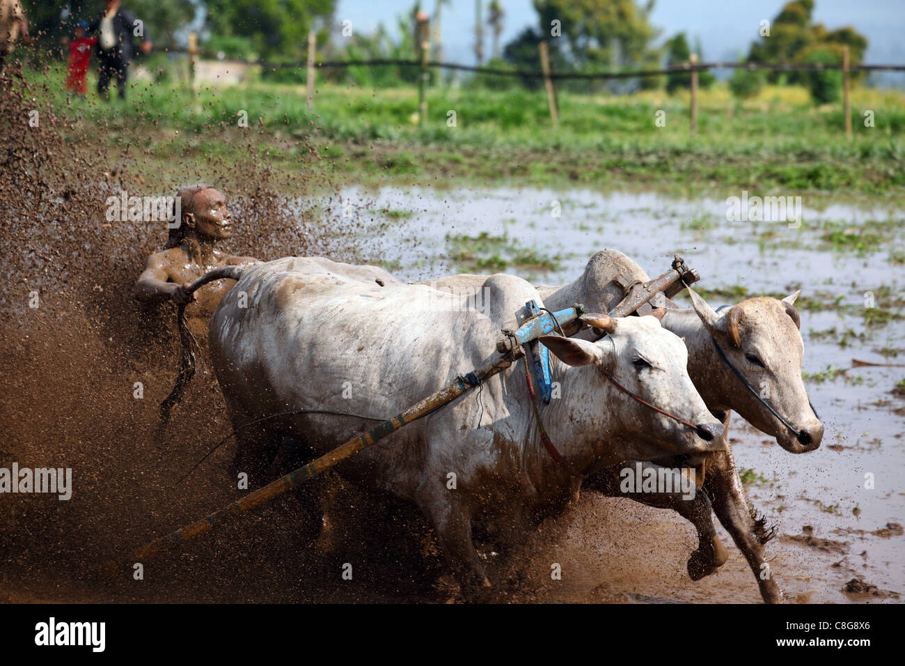 Traditional Bull Racing in Indonesia 60