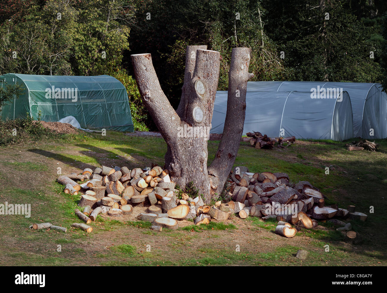 Wood burning fuel from a old damaged felled tree with piles of logs to be split for open fires and wood burners - Stock Image