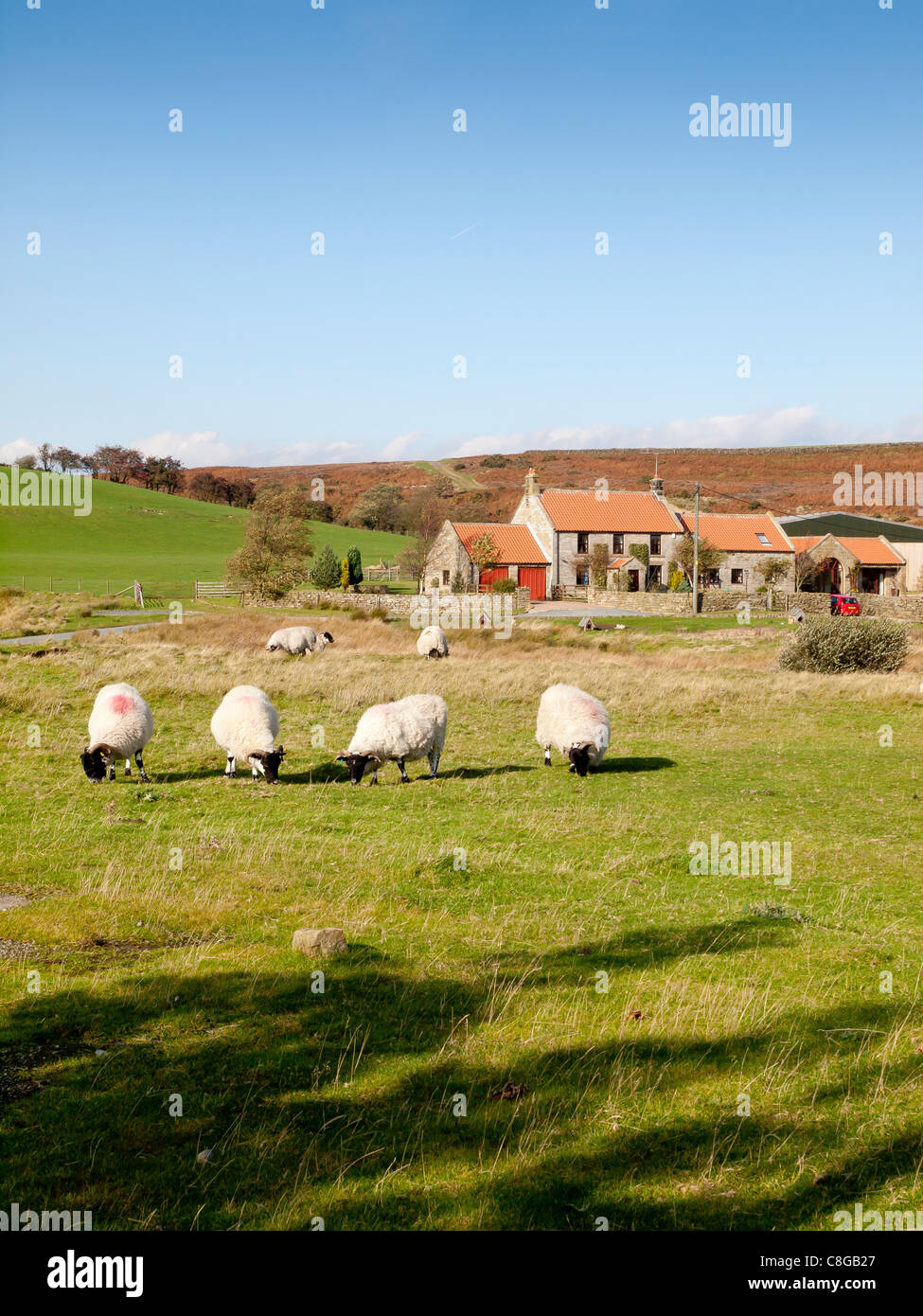 Sheep graze on common land in front of homes and farm in the hamlet of Greenhouses Lealholm North Yorkshire Stock Photo