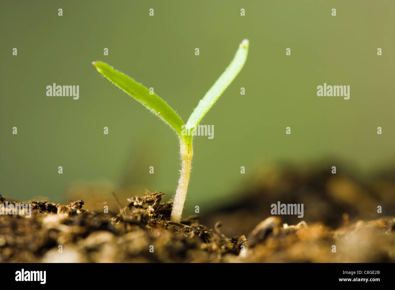 Seedling. Dicotyledon germinating. - Stock Image