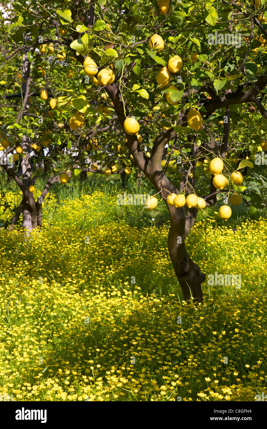 Lemons growing on trees in grove, Sorrento, Campania, Italy - Stock Image