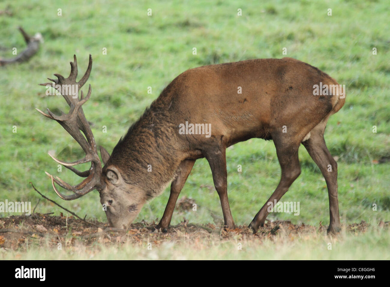 fallow deer stag on green background - Stock Image