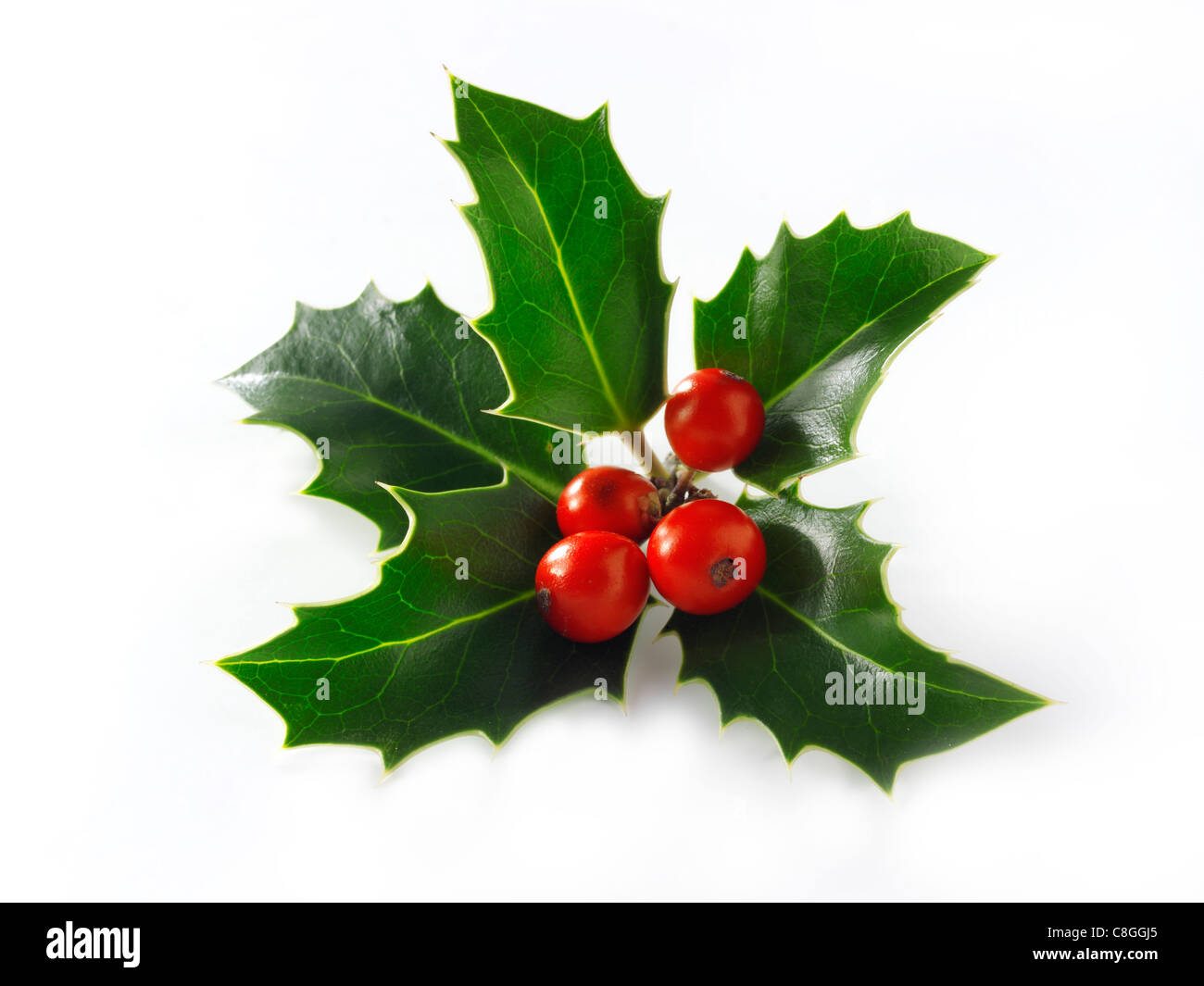 Christmas Holly leaves & berries - Stock Image