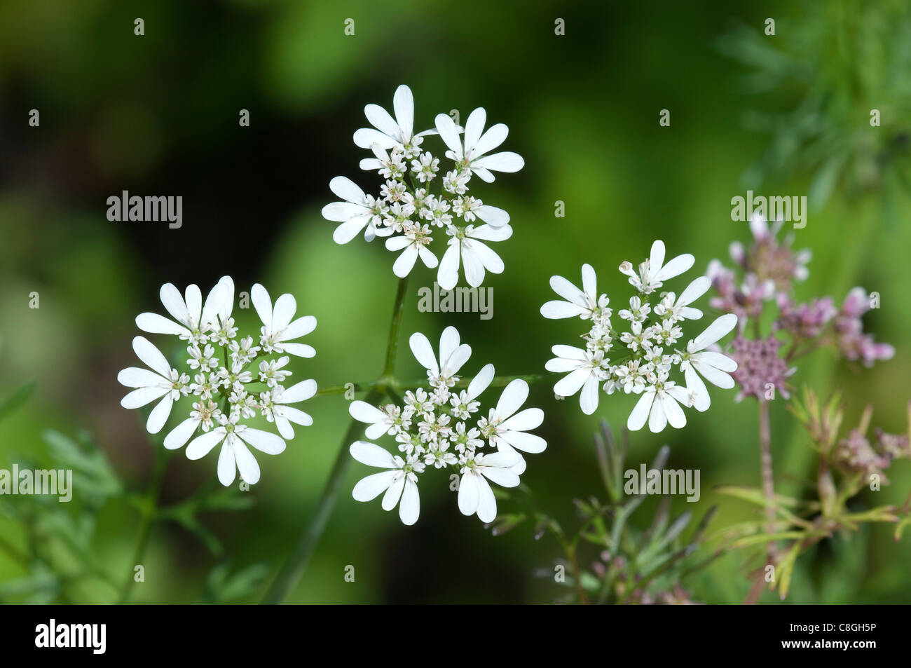 Coriander (Coriandrum sativum), flowering Stock Photo