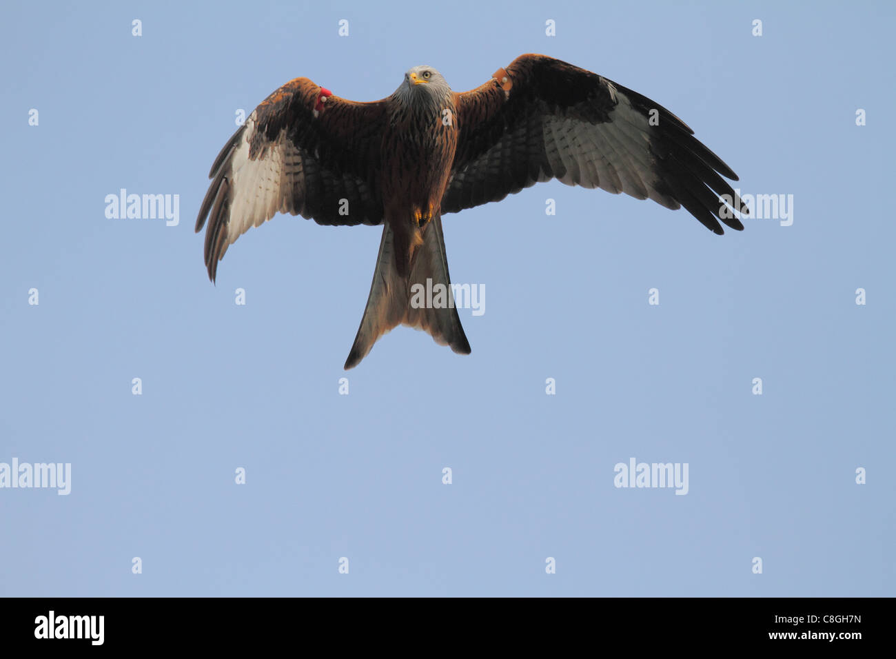 a close up detailed view of a red kite with tags flying low - Stock Image