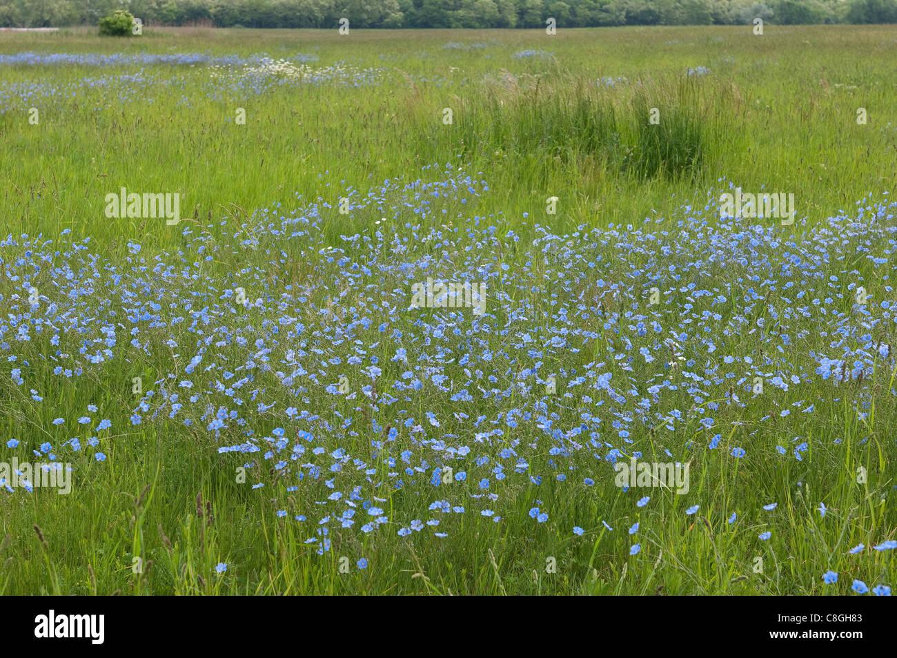Asian Flax (Linum austriacum), flowering. - Stock Image