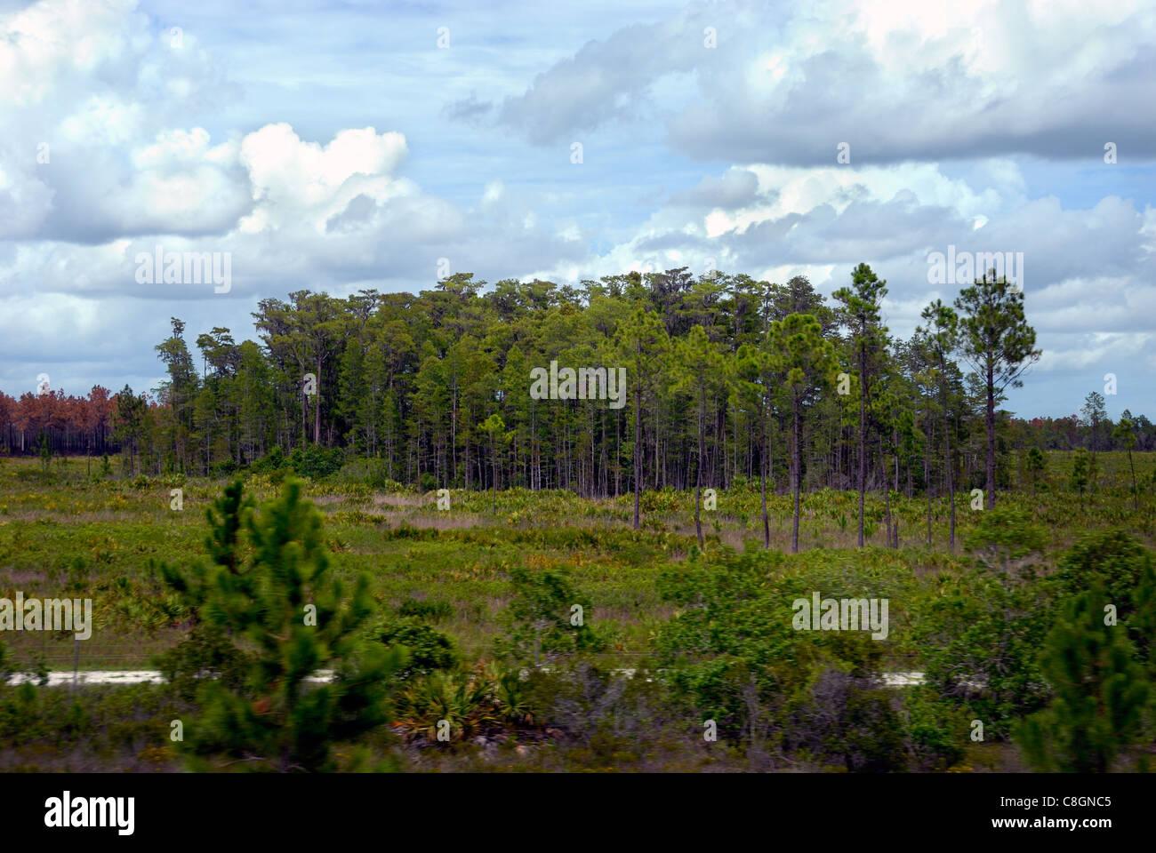 Stand of Pine trees, Florida, USA - Stock Image