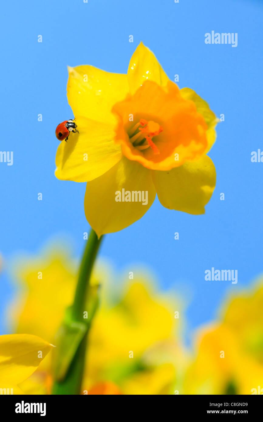 2, Adalia bipunctata, flower, flowers, splendour, blossom, flourish, Coccinellidae, detail, field, spring, garden, - Stock Image