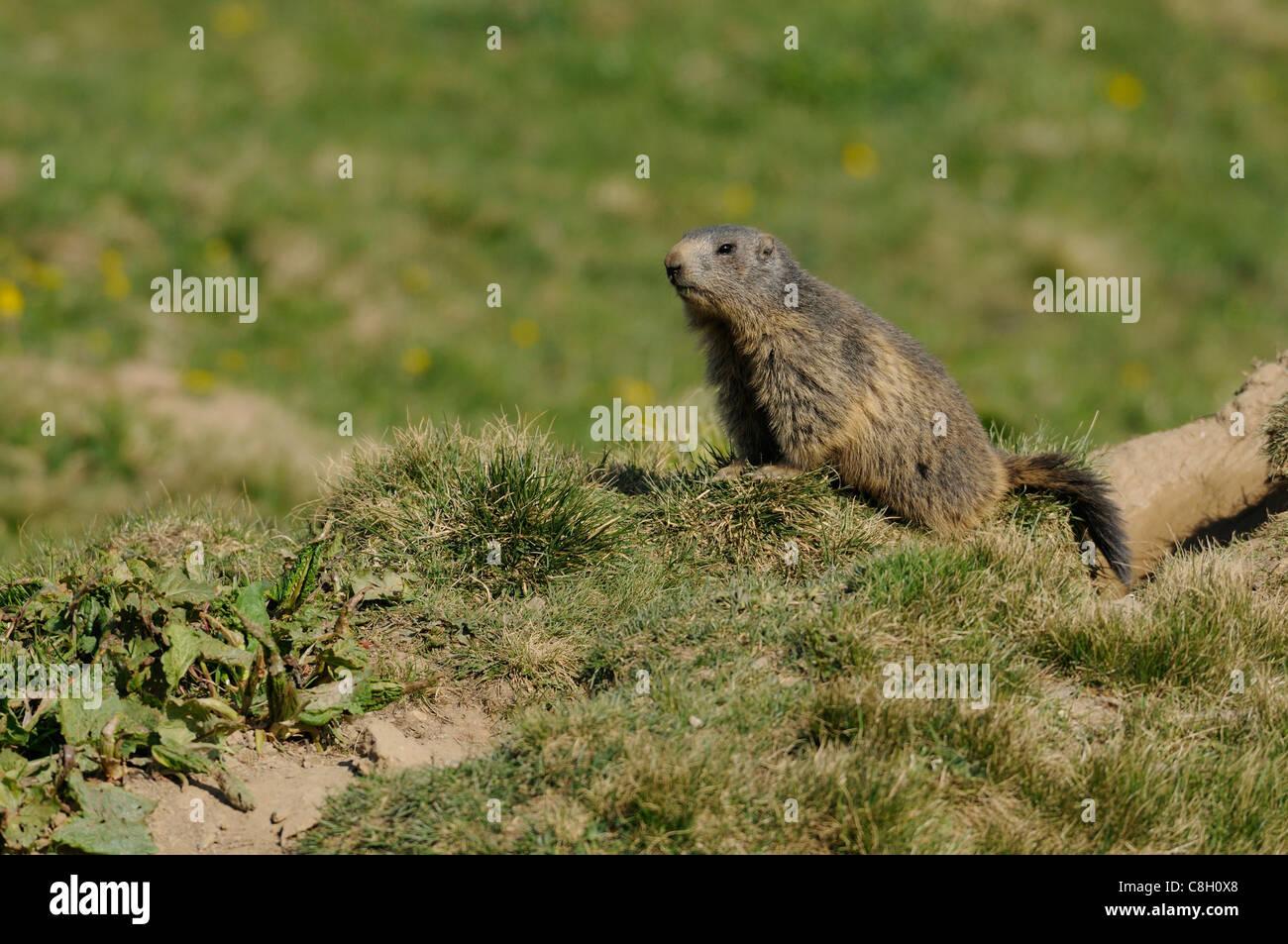 Alpine Marmot, Marmot, Marmota marmota, Sciuridae, animal, rodent, Alps, Alp Präz, Heinzenberg, canton, Grisons, - Stock Image