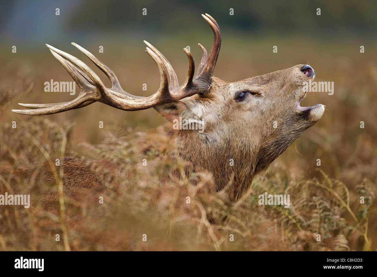 Red Deer Stag, Roaring at the rut - Stock Image