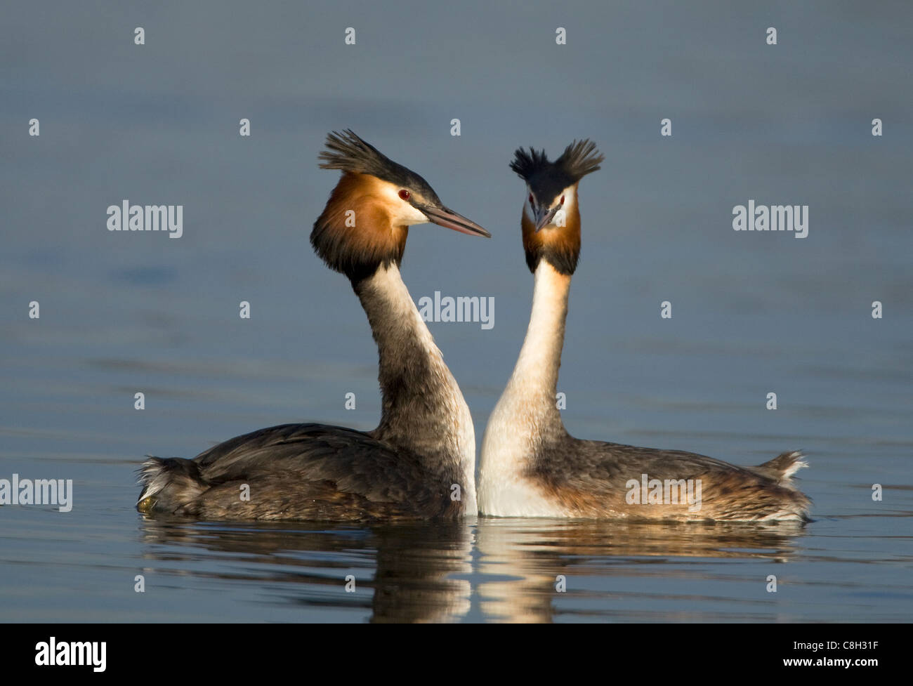 great crested grebes,portrait - Stock Image