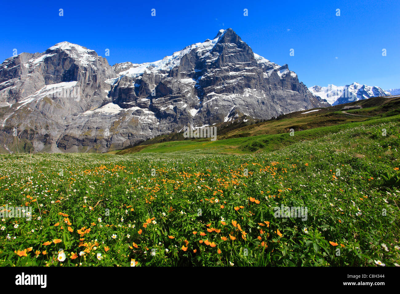 Alp, alps, flora, view, mountain, mountains, mountain flora, mountain spring, mountain massif, Bern, Bernese Oberland, - Stock Image