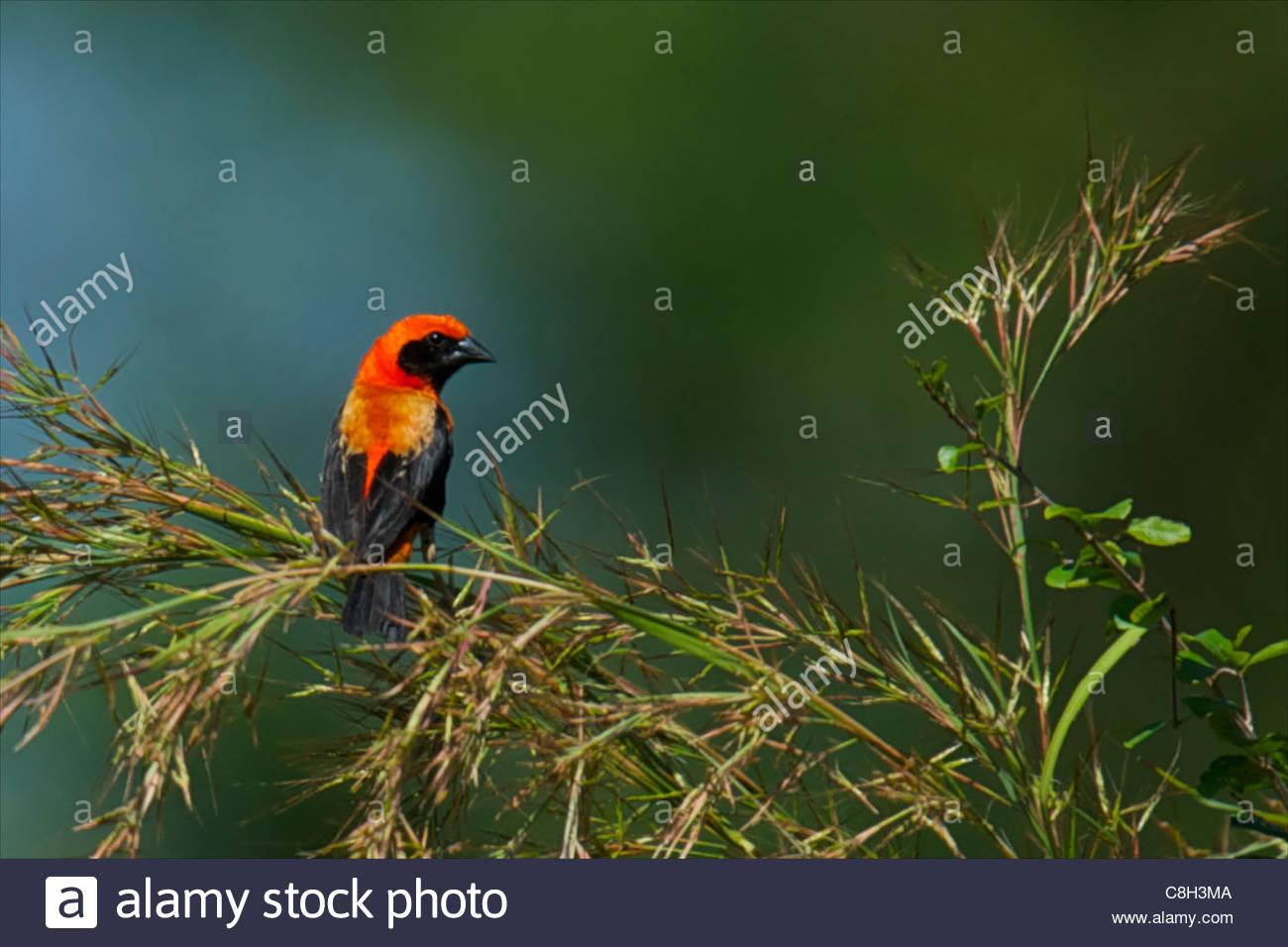 Unidentified bird in Mozambique's Niassa Reserve. - Stock Image