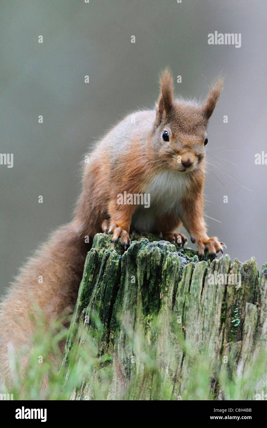 Tree, tree stump, Cairngorms, national park, squirrel, food, eating, Eurasian Red Squirrel, European squirrel, feed, - Stock Image
