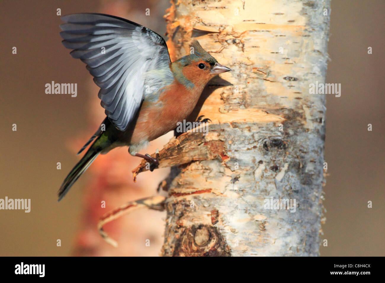 Flight, tree, movement, chaffinch, Cairngorms, national park, food, eating, flight, wing, Fringilla coelebs, feed, - Stock Image