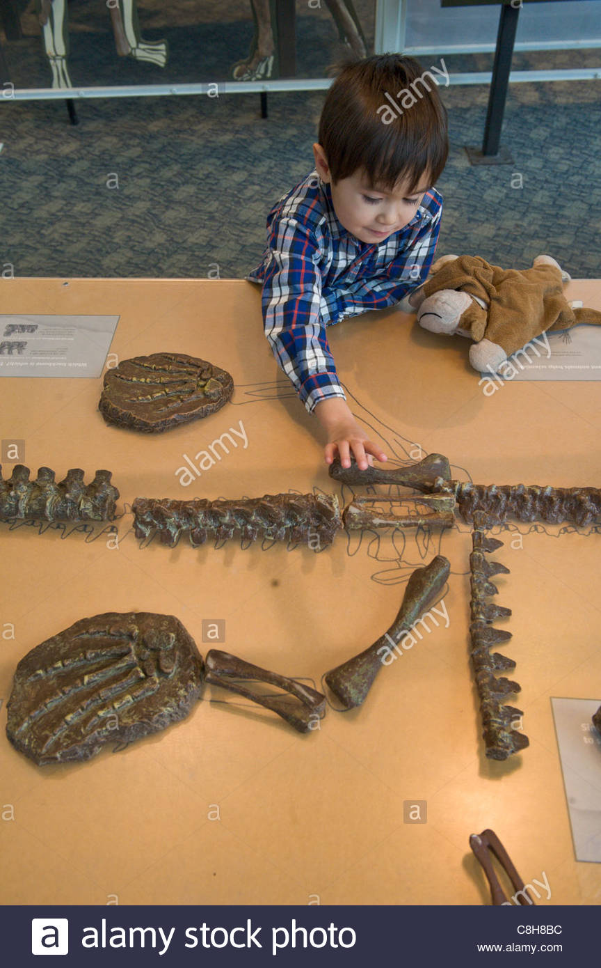 A young boy arranges dinosaur bones at a museum exhibit. - Stock Image