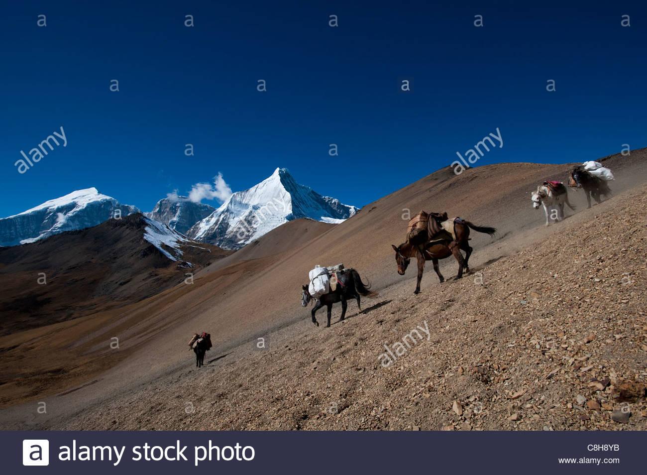 Pack horses cross the Nyile La pass with views Jichu Drake behind - Stock Image